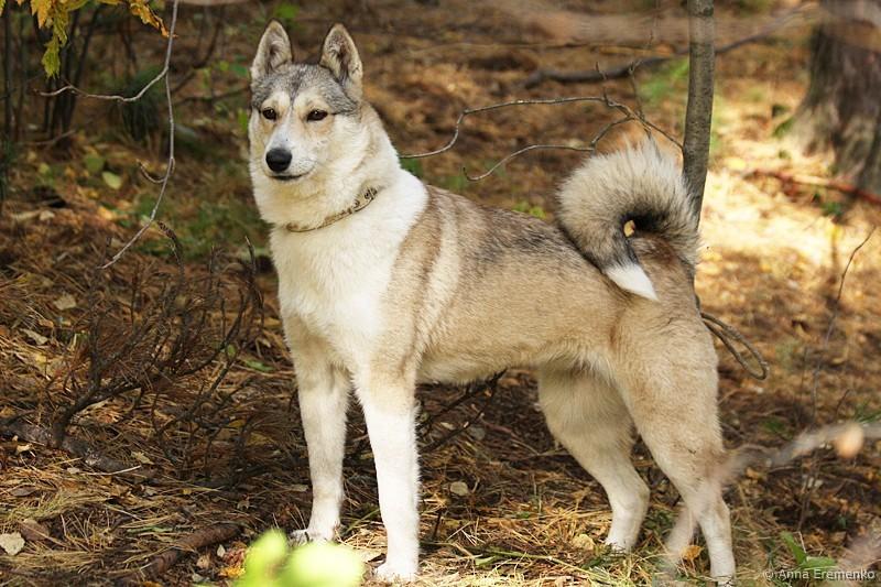 Картинки собаки сибирские лайки